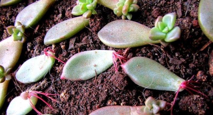 Sen đá viền lửa; trắng; Các loại; giống mới; hoa, thân cổ thụ; thân gỗ; mini, giá tốt, mua ở đâu rẻ, TPHCM.