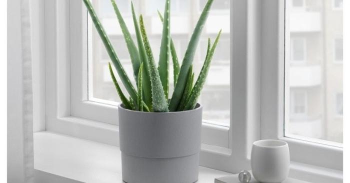 cây nha đam có khả năng thanh lọc không khí, giải phóng oxy, hút các khí có hại cho cơ thể. Ngoài ra,  lo hội còn có tác dụng hút bụi bẩn, tiêu diệt các loài vi khuẩn trong không khí.