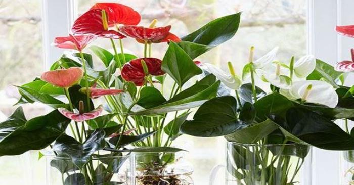 Cây Hồng Môn có hoa màu hồng rất đẹp thích hợp để trang trí phòng khách, phòng làm việc