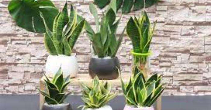 cây lưỡi hổ là 1 trong top 10 cây cảnh 'lọc sạch' khí độc trong nhà, hút bức xạ wifi hiệu quả.