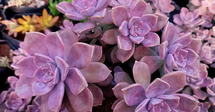Top 3 địa chỉ bán sen đá hồng mập - đĩa hồng giá rẻ uy tín, cách chữa; chữa bệnh gì; bị úng lá.
