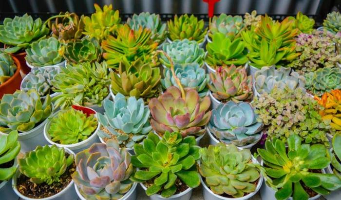 Mua các loại hoa sen đá hồng mập, Đồng Tháp, Khánh Hòa, Kiên Giang, Kon Tum, Lai Châu, Long An.