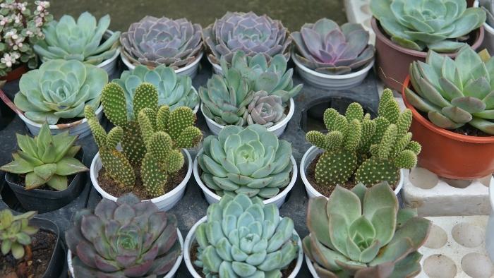 Cây Xinh; Sen đá Hà Nội 365 Khương Trung; Nhà sen đá – Succulents House; Joy Garden; Little Fairy;
