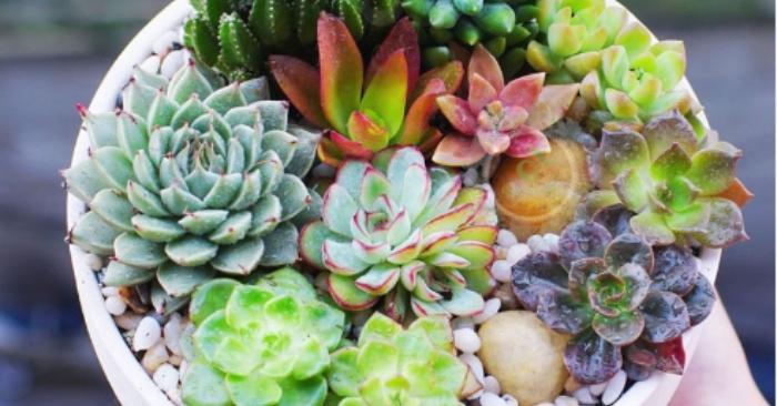 Ý nghĩa hoa đá trong phong thủy; Các loại hoa đá hiếm; Cách chăm sóc; hoa đá là cây gì, giá bán.