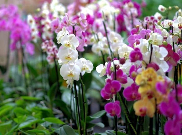 Cách trồng - chăm sóc hoa lan hồ điệp ra hoa rực rỡ; chi phí trồng; vườn lan Củ Chi; địa chỉ