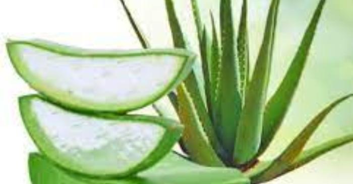 Nha đam (lô hội) là một loại thực vật mọng nước; giàu dưỡng chất tốt cho sức khỏe và nhan sắc.