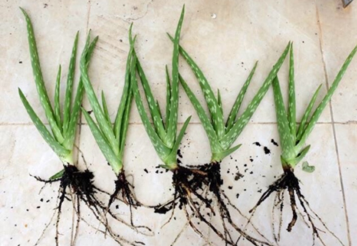 Cách trồng lô hội bằng lá đơn giản dễ thực hiện, giâm cành, lại, từ, thực hành, trộn đất, dễ sống.