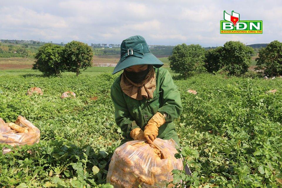 Củ cải trắng được thu hoạch, đóng thành từng gói 10kg