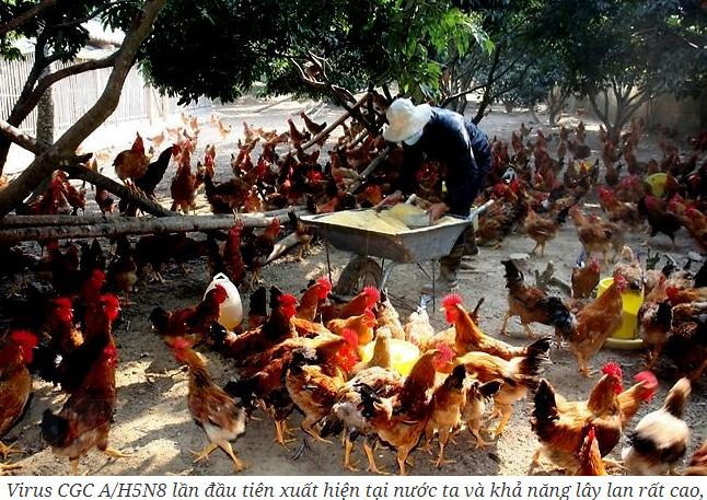 Dịch cúm gia cầm chủng A/H5N8 gây lo ngại.