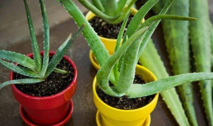 Hoa nha đam-Ý nghĩa, nguồn gốc và công dụng của cây, rửa sạch, bạn có thể, loại cây, cơ thể, khi sử.